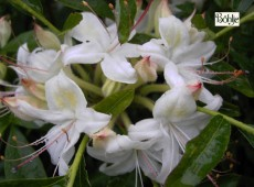 Rhododendron viscosum 'Weston's Innocence'