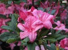 Rhododendron viscosum 'Weston's Sparkles'