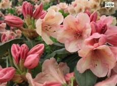 Rhododendron wardii Nr 3