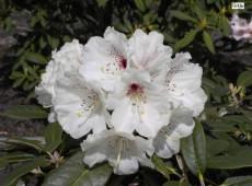 Rhododendron wasonii