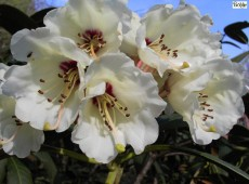 Rhododendron wightii
