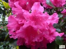 Rhododendron williamsianum 'August Lamken'