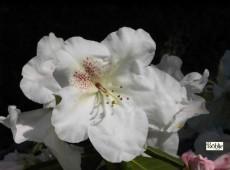 Rhododendron williamsianum 'Gartendirektor Rieger'