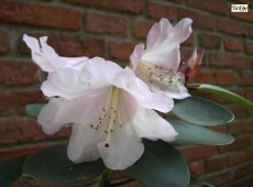 Rhododendron williamsianum 'Kimberly'