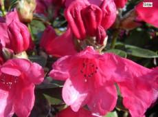 Rhododendron williamsianum 'Molly Ann'