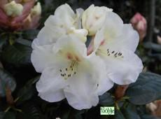 Rhododendron williamsianum 'Rothenburg'