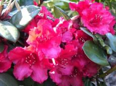 Rhododendron williamsianum 'Tromba'
