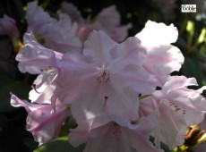 Rhododendron williamsianum 'Vater Böhlje'