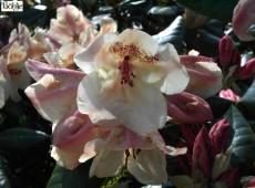 Rhododendron williamsianum 'Viscy'