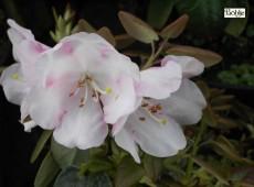 Rhododendron williamsanum Wildart