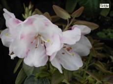 Rhododendron williamsianum 'Wildart'