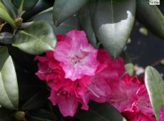 Rhododendron yakushimanum 'Anuschka'