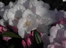 Rhododendron yakushimanum 'Aprilmorgen'