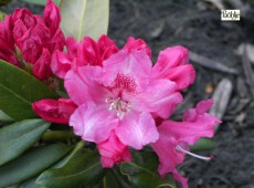 Rhododendron yakushimanum 'Bad Zwischenahn'