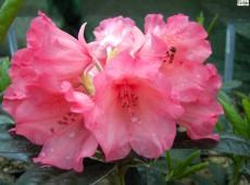 Rhododendron yakushimanum 'Bambi'