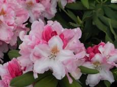 Rhododendron yakushimanum 'Bashful'