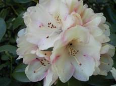Rhododendron yakushimanum 'Bohlken's Juditha' ®