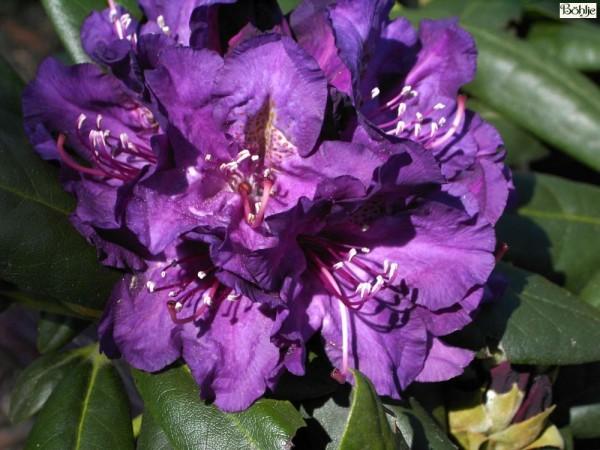 Rhododendron yakushimanum 'Bohlken's Lupinenberg'