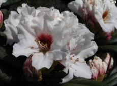 Rhododendron yakushimanum 'Bohlken's Snow Fire