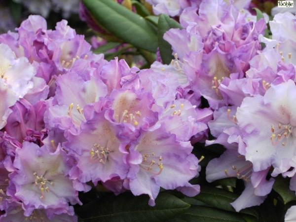 Rhododendron yakushimanum 'Caroline Allbrook'