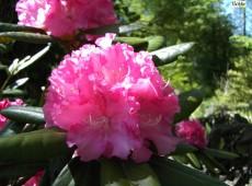 Rhododendron yakushimanum 'Catinka'
