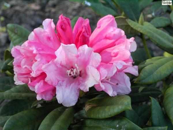 Rhododendron yakushimanum 'Colibri'