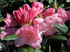 Rhododendron yakushimanum 'Cupcake'