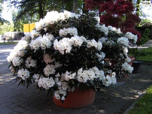 Rhododendron yakushimanum 'FCC feiner Typ'