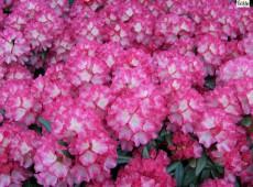 Rhododendron yakushimanum 'Fantastica'