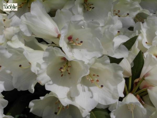 Rhododendron yakushimanum 'Frühlingsgold'