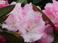 Rhododendron yakushimanum 'Friederike'