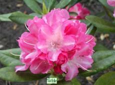 Rhododendron yakushimanum 'Glanzblatt'