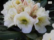 Rhododendron yakushimanum 'Golden Melodie'
