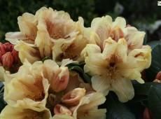 Rhododendron yakushimanum 'Goldprinz' Syn. 'Goldschatz'