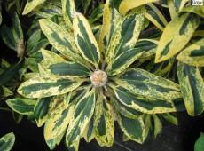 Rhododendron yakushimanum 'Goldsaum'