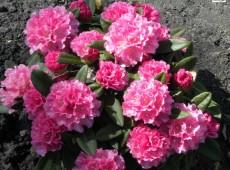 Rhododendron yakushimanum 'Graf Anton Günter'