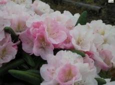 Rhododendron yakushimanum 'Grober Typ'