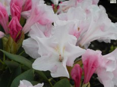 Rhododendron yakushimanum 'Gruß an Dortmund'