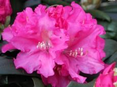 Rhododendron yakushimanum 'Helgoland'