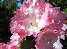 Rhododendron yakushimanum 'Hinrich'