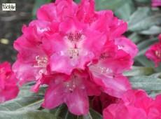 Rhododendron yakushimanum 'Julischka'