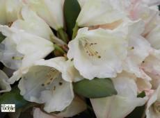 Rhododendron yakushimanum 'Katharina'