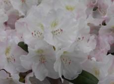 Rhododendron yakushimanum 'Ken Janek'