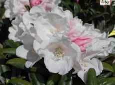 Rhododendron yakushimanum 'Koichiro Warda'