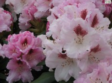 Rhododendron yakushimanum 'Lamentosa'