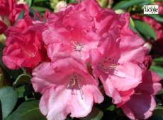 Rhododendron yakushimanum 'Lampion'