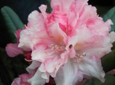 Rhododendron yakushimanum 'Loreley'