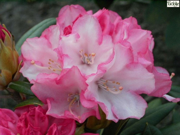 Rhododendron yakushimanum 'Love Song'