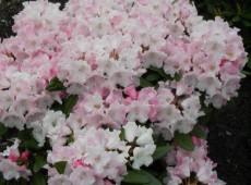 Rhododendron yakushimanum 'Mardi Gras'