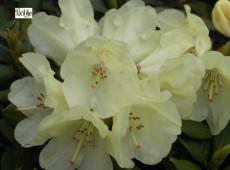 Rhododendron yakushimanum 'Mariola'